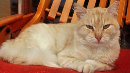 El gato Simón